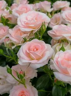 Growing roses doesn't have to be a complicated endeavor. When you have the right knowledge there is no limit to how beautiful a garden Beautiful Rose Flowers, Amazing Flowers, Beautiful Flowers, Comment Planter Des Roses, Pink Roses, Pink Flowers, Clay Flowers, Flower Petals, Bloom
