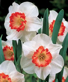 Light up your spring with flaming beauty! The fiery red-orange, heavily frilled corona of Ring of Fire makes a brilliant contrast to its pristine, snowy white perianth!