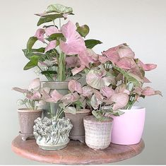 House Plant Community on Have a great weekend. Thanks a lot urbanjungling for sharing this lovely with the house_plant_community . Cool Plants, Green Plants, Potted Plants, Indoor Plants, Unique Plants, Room With Plants, House Plants Decor, Plant Decor, Plantas Indoor