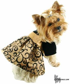 Dress your Yorkie nicely! So, we've covered the topic on grooming your Yorkie but we all know that styling doesn't end there. People say that clothes make a man, or that you are what you wear, the same goes for dogs, more so for Yorkies. If you want your pup to really stand out you need some trendy clothes and popularity is guaranteed! Read more at : yorkieness.com