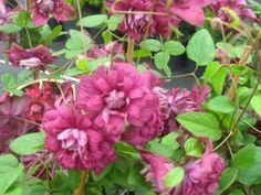 VIINIKÄRHÖ Purppurea_Plena_Elegans Viinikärhö 'Purpurea Plena Elegans' kuuluu kärhöjen aateliin. Vaikka lajike on peräisin 1800-luvulta, se on yhä suosittu erinomaisen kestävyytensä ja kerrannaisten kukkiensa ansiosta. Luumunpunaisia, pallomaisia kukkia avautuu heinäkuun lopulta jopa lokakuuhun.