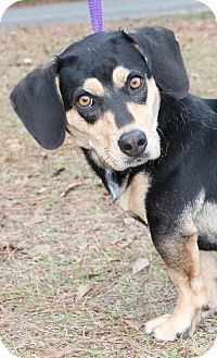 Prattville, AL - Basset Hound/Beagle Mix. Meet Kayla 19742 a Dog for Adoption. Basset Hound Mix, Bassett Hound, Beagle Mix, Hound Breeds, Beagles, Rescue Dogs, Best Dogs, Pet Adoption, Fur Babies