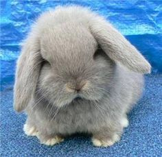 lilac otter mini lop six weeks old Cute Baby Bunnies, Funny Bunnies, Animals And Pets, Funny Animals, Mini Lop, Holland Lop, Cute Little Animals, Tier Fotos, Hamsters