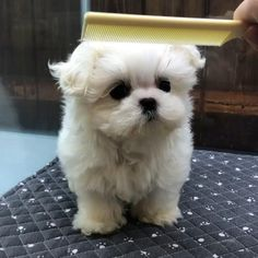 My lovely teacup maltese puppy - Cute Baby Puppies, Super Cute Puppies, Baby Animals Super Cute, Shitzu Puppies, Maltese Dogs, Cute Pups, Small Cute Puppies, Mini Maltese, Baby Maltese