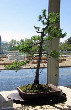 Best Bonsai Trees For Minnesota Bonsai Tree