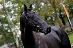 Ebony Stallions 105