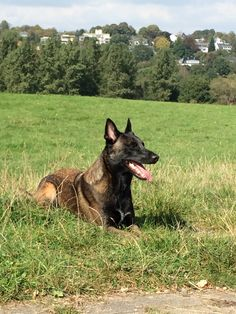 Malinois - We Love him Belgian Shepherd, The Shepherd, Shepherd Dogs, Berger Malinois, Belgian Malinois Dog, Military Working Dogs, Parrots, Mans Best Friend, Best Dogs