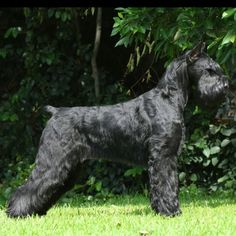 Int Panam TT Ch HiStyle's Shayera  #giantschnauzer #giantschnauzers #grooming #schnauzer #schnauzers #miniatureschnauzer #standardschnauzer #dog #dogs #dogshow #akc #fci #pets #pet #pup #puppy #puppies #pups #animal #animals
