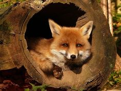Fox in a Log.
