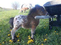 Oh. My. God. It's a baby Appaloosa mini horse.