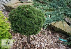 Picea abies 'Jana' - Picea Abies, Trees And Shrubs, Landscape Design, Garden, Plants, Garten, Landscape Designs, Lawn And Garden, Gardens