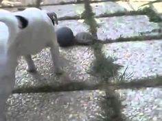Turtle And Dog Play Keep Away With Ball  Turtle Wins! - YouTube