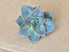 Image of Echeveria Grammut Echeveria, Succulents, Plants, Image, Succulent Plants, Plant, Planets