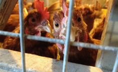 California Egg Farmer First To Be Charged With Animal Cruelty Act Violations | Care2 Causes