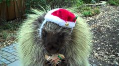 Teddy the talking porcupine is all dressed up for Christmas.  Take a few seconds to watch the video. Instant DE-stressor.