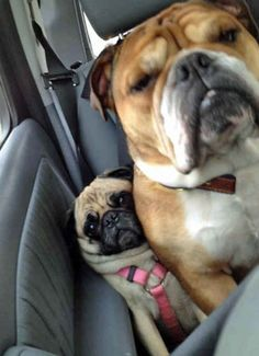 A pug having a bad time on a road trip: