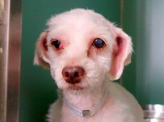TO BE DESTROYED 8/14/14 Manhattan Center -P ***NEW PHOTO***  My name is PUCHI. My Animal ID # is A1009707. I am a female white maltese mix. The shelter thinks I am about 7 YEARS old.  I came in the shelter as a STRAY on 08/07/2014 from NY 10460, owner surrender reason stated was STRAY. https://www.facebook.com/Urgentdeathrowdogs/photos/a.611290788883804.1073741851.152876678058553/854351334577747/?type=3&theater