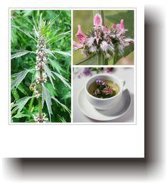 Plante medicinale – TALPA GÂȘTEI Flora, Plant, Life, Plants