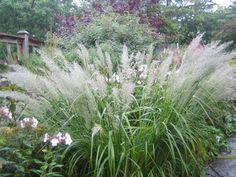 Diamantrör gräs Plants, Garden, White Gardens, Ornamental Grasses, Grass, Modern Garden, Garden Planning, Prairie Garden, Garden Plants