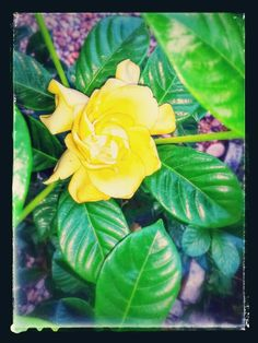 De mi jardín, Gardenia Amarilla