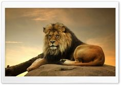 Big Lion On Stone HD Wide Wallpaper for Widescreen