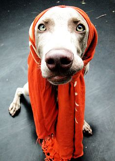 Weimaraner........do they all like to wear clothes, because mine do