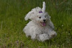 Happy Havanese running dog