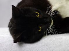 Pixie is an adoptable Domestic Medium Hair-Black And White Cat in Indianapolis, IN. This is Pixie. She's a pretty black and white four year old girl. Pixie likes to tell you when she wants your attent...
