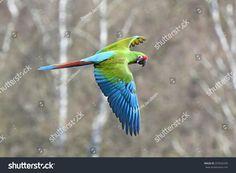 This photo was sold today @ Shutterstock Military Macaw (Ara militaris) in flight https://www.shutterstock.com/da/image-photo/military-macaw-ara-militaris-flight-habitat-297820295