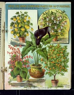 This Dramatic Page Featuring Flowering Plants Is Found Near 65 In The 1894 L May Catalog Color Wasn T Often Used Inside So Black