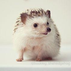 Buckley the Hedgehog