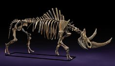 an outstanding skeleton from a massive woolly rhinoceros dates to the Pleistocene Epoch of the Quaternary Period