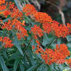 Milkweeds - attracts monarch butterfly Asclepias incarnata, A. tuberosa Bloom mid-late summer Full sun