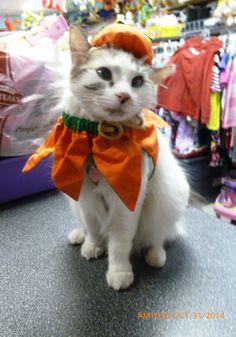 My little pumpkin ~ #mayhemcat #cat #catlover #holidaycat #halloweencat