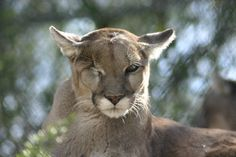 Cascabel the mountain lion at Southwest Wildlife Conservation Center.