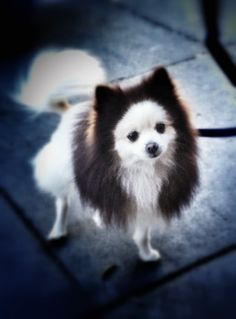 So cute! What a beautiful Pomeranian!