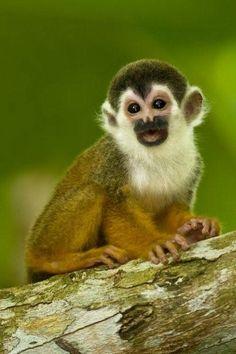 Squirrel Monkey, wildlife, Ecolodge  Eco Resort  Corcovado National Park  Osa Peninsula  Honeymoon in Costa Rica  eco lodge  www.laparios.com