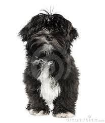 black and white puppies Lhasa Apso, White Puppies, Black And White, Pets, Animals, Doggies, Image Search, Drawing, Black White