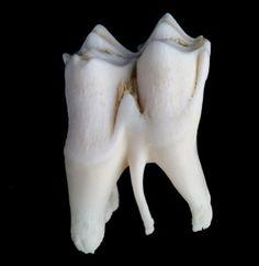 Large Cheek Tooth from horse, elk, deer, bison etc.