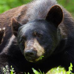 Amerikaanse zwarte beer.