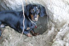 Crusoe Digs to China | Dachshund Diggers | Celebrity Dachshund Blog