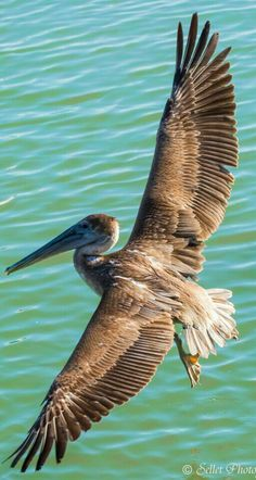 Seabirds - Brown Pelican in flight. - by Sellet photography