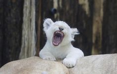 https://flic.kr/p/216NsLv | 09 | A white lion cub yawns on the back of the mother ' Kiara' in their enclosure in the zoo in Magdeburg, Germany. Four white lion cubs were born in the zoo on Dec. 25, 2016.