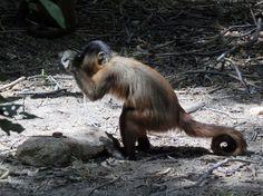 巴西的捲尾猴,用石塊敲打時的英姿。(圖片來源)