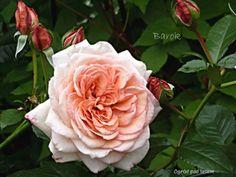 Magic Garden, Olive Garden, Vegetable Garden Design, Covent Garden, Deck Design, Outdoor Spaces, Perennials, Backyard, Rose