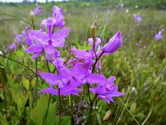 Calopogon tuberosus - Grass Pink | Flickr - Photo Sharing! Maine, Grass, Plants, Wild Flowers, Grasses, Plant, Herb, Planting, Planets