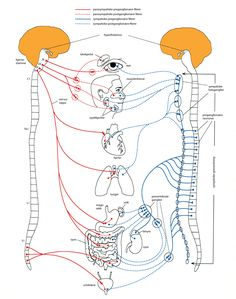 autonome nervesystem – Store medisinske leksikon