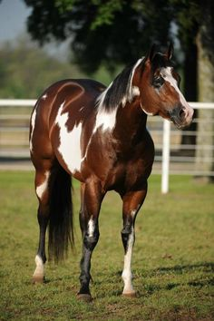 ☀ Beautiful paint horse this is what i want @Kristin West Dowden