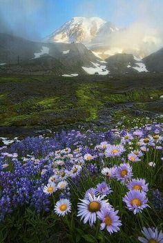 Asters -and Lupine - Mt. Rainier National Park - WA, USA