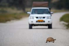 Leopard tortoise crosses the road in front of a jeep, Kgalagadi Transfrontier Park. Brown Hyena, Blue Wildebeest, South Africa Safari, Desert Climate, African Safari, Africa Travel, Crosses, Tortoise, Jeep